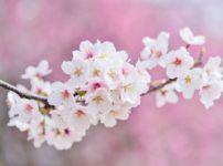 きれいに咲いている桜